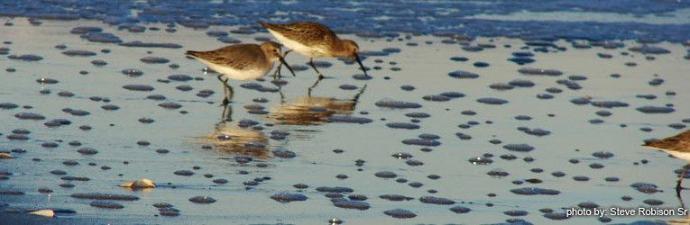 sandpipers-58-800-450-80 Coastal Southern Delaware Attractions - Restaurants, Events, Sports, Entertainment, Golfing, and Tennis - Jack Lingo REALTOR - Jack Lingo REALTOR